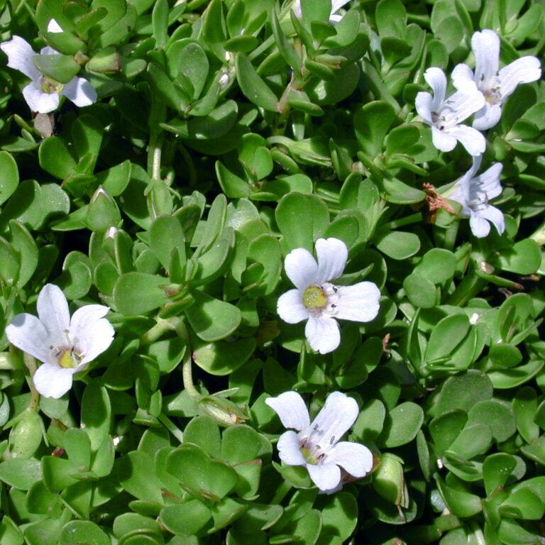 Brahmi plant (Bacopa Monnieri)